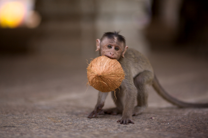 Baby monkey with coconut