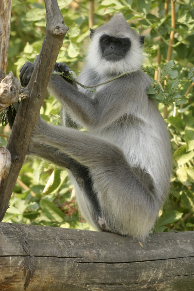 The Hanuman Langur monkey